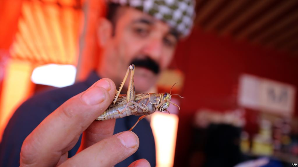 Locusts hit Iran's southern provinces