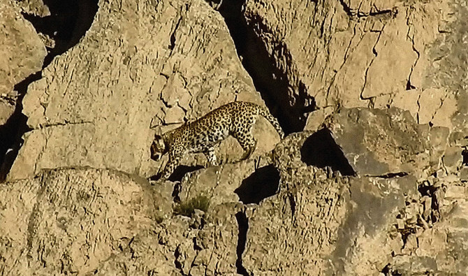 Great spot: Rare Persian leopard pair sighted in Pakistan